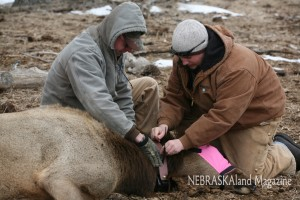 Elk Collaring in Cherry County