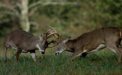 whitetaildeerbucksfighting
