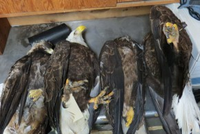 What we do with dead eagles