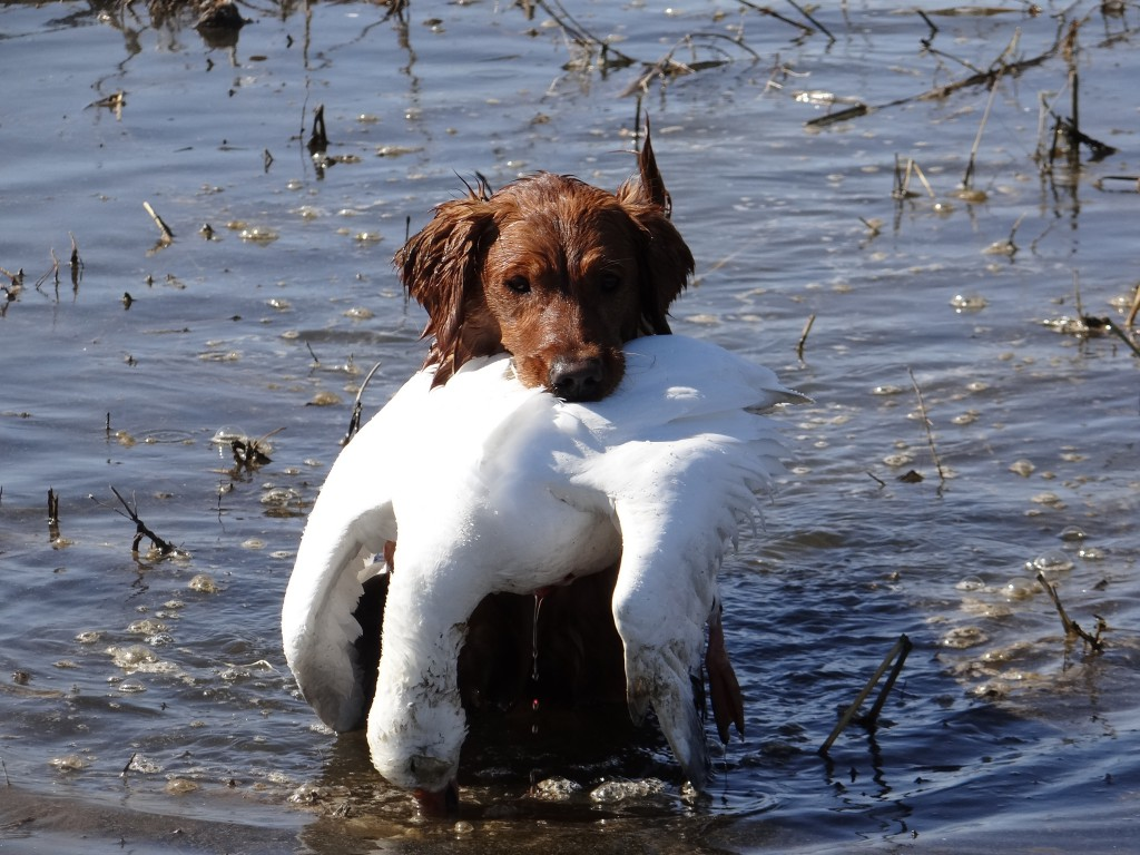 retrievingsnowgoose
