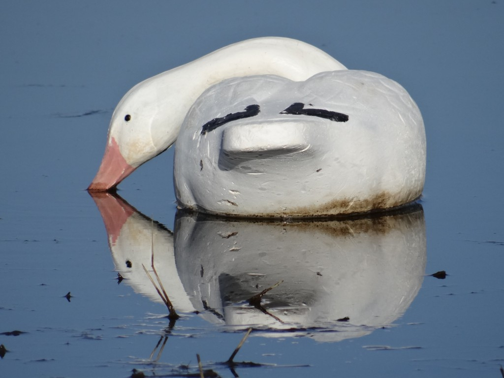 Snow goose decoy mirrored in water.
