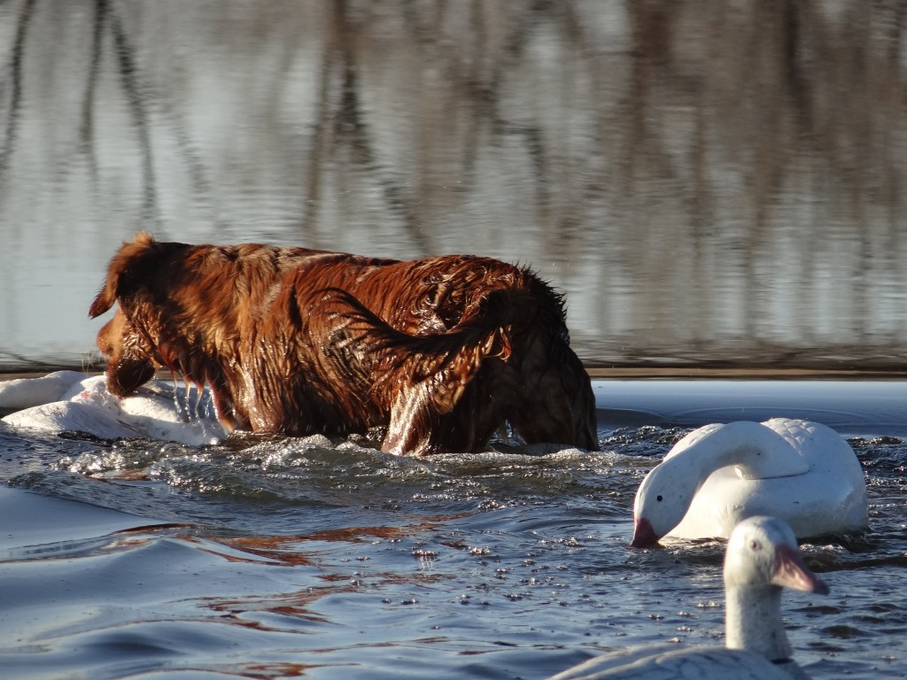 Swamp collie June retrieving light goose.