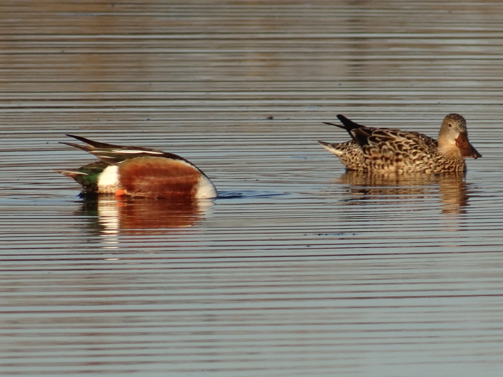 Pair of northern shoveler ducks.