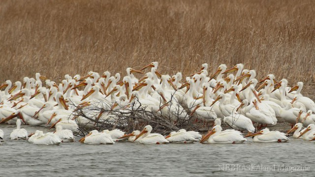 White American Pelicans