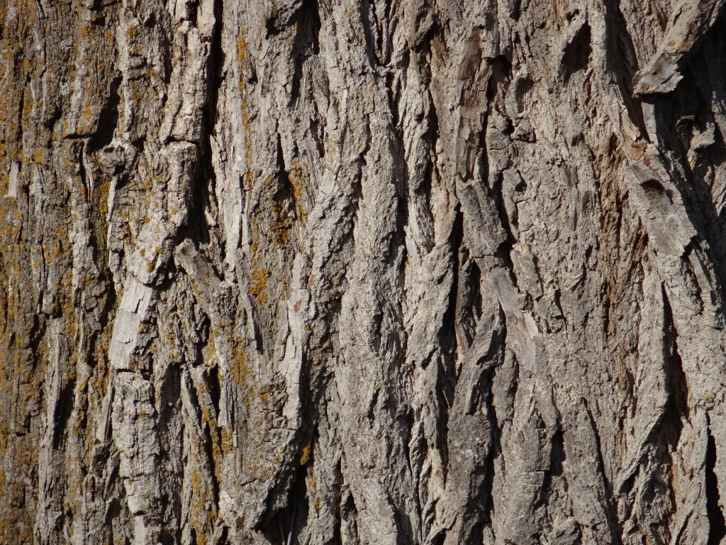 The bark of an Eastern Cottonwood tree.
