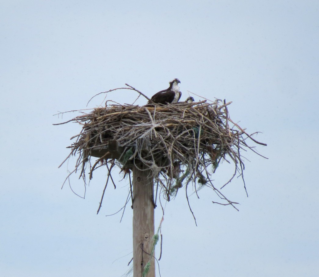An adult Osprey on its nest.