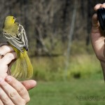 A female orchard oriole is held by Alexandra Mayes, education coordinator for the Bird Conservancy of the Rockies, while getting its photo taken by an attendee of last year's public bird banding demonstrations at Chadron State Park. (NEBRASKAland/Justin Haag)