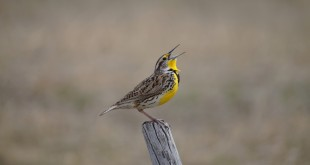 Western Meadowlarks are as common as dirt in the Sandhills.  Eastern Meadowlarks can also be found in the wet meadows of the Sandhills.