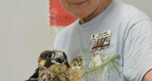 Betsy Finch and the young Peregrine Falcon just before its trip back to Omaha.