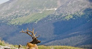 A bull elk rests in the upper elevations of Rocky Mountain National Park. (Photo by Cricket Haag)