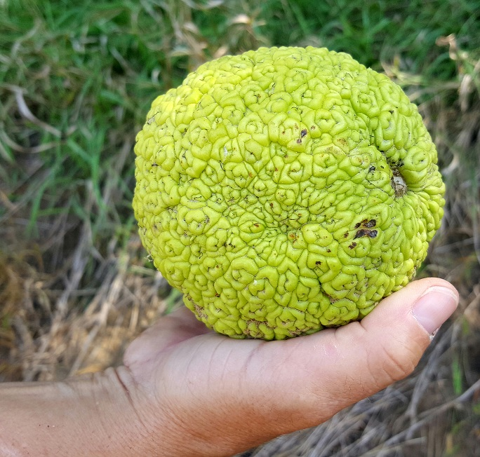 Hedge apple in hand. Photo by Greg Wagner/Nebraska Game and Parks Commission.