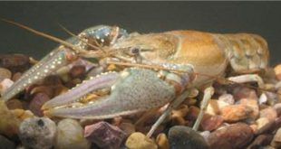 NorthernCrayfish
