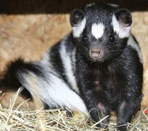 close up of eastern spotted skunk
