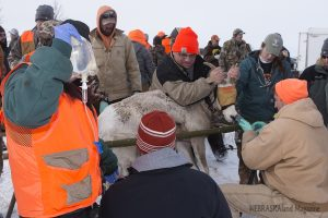 Bighorn sheep processing