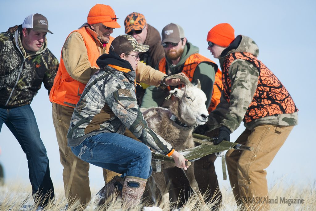 Bighorn sheep capture