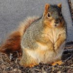 Brenda Creigh saw this fat squirrel at Pier Park in Grand Island.