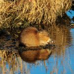 Jerry Kostal of Papillion photographed this muskrat at Walnut Creek Recreation Area.