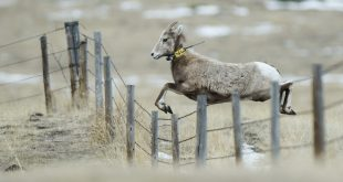 Bighorn sheep jumping fence
